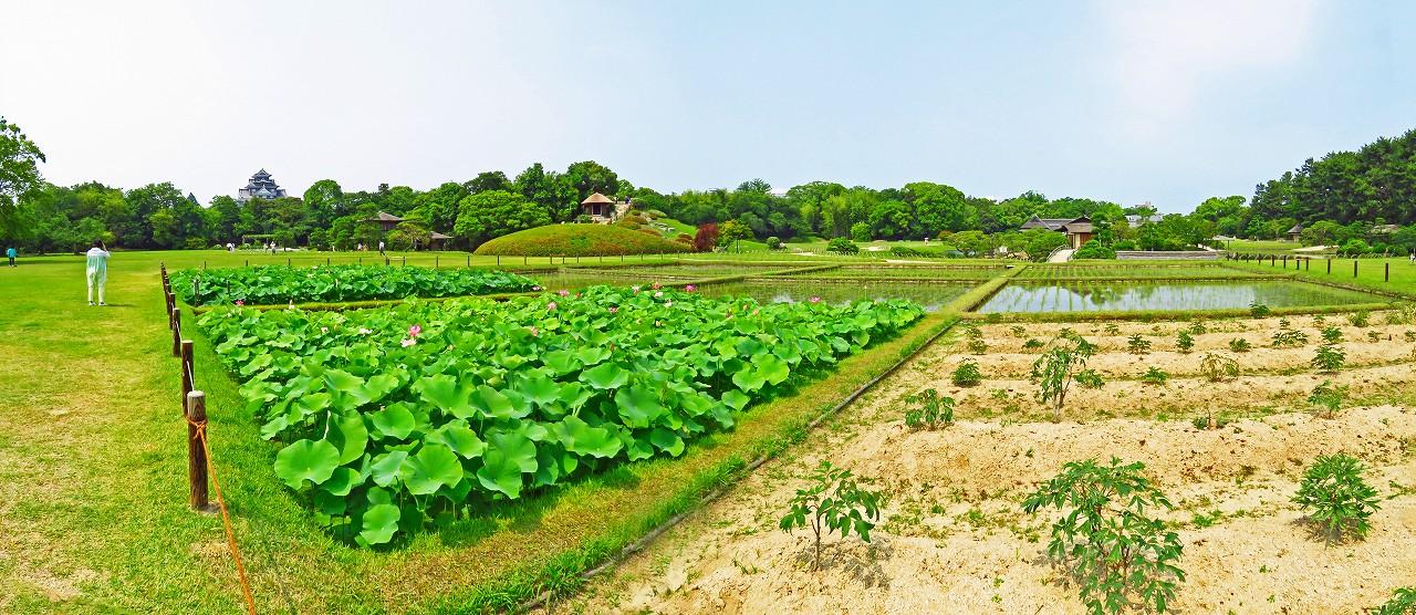 20170616 後楽園今日の井田の大賀蓮の花様子ワイド風景 (1)