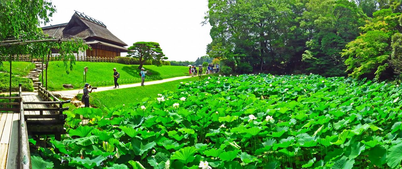 20170706 後楽園今日の花葉の池の大名蓮の花の様子ワイド風景 (1)