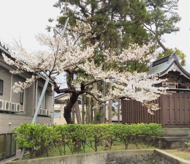 お店の裏の桜