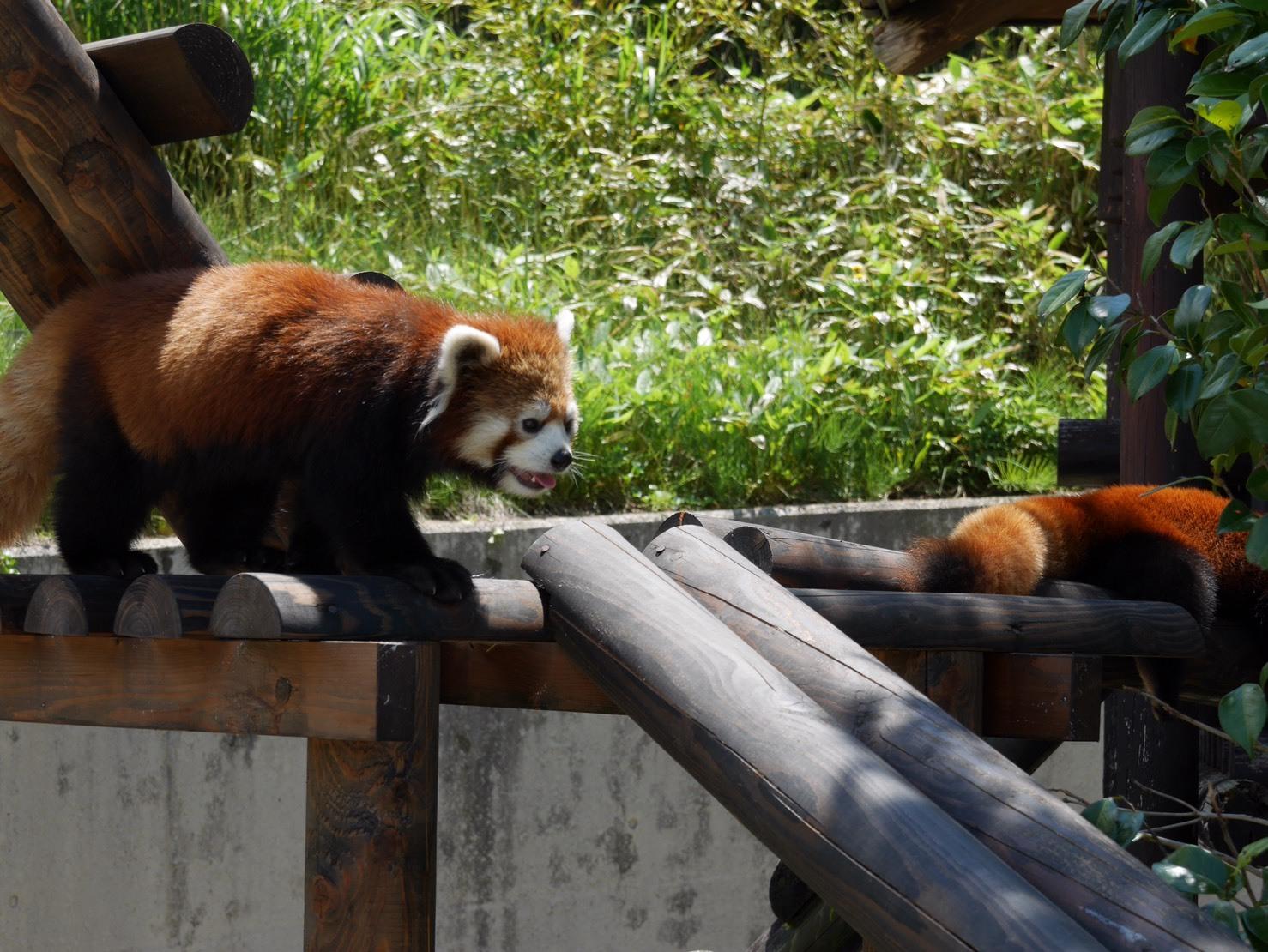 大森山動物園 レッサーパンダ