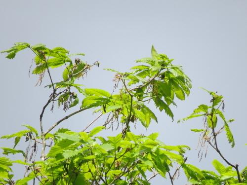 ミズナラの新緑