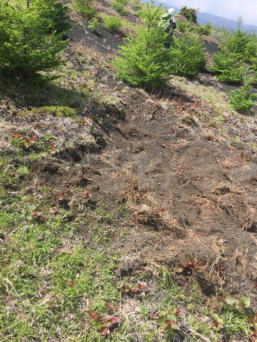 二ツ塚麓のイノシシの掘った跡