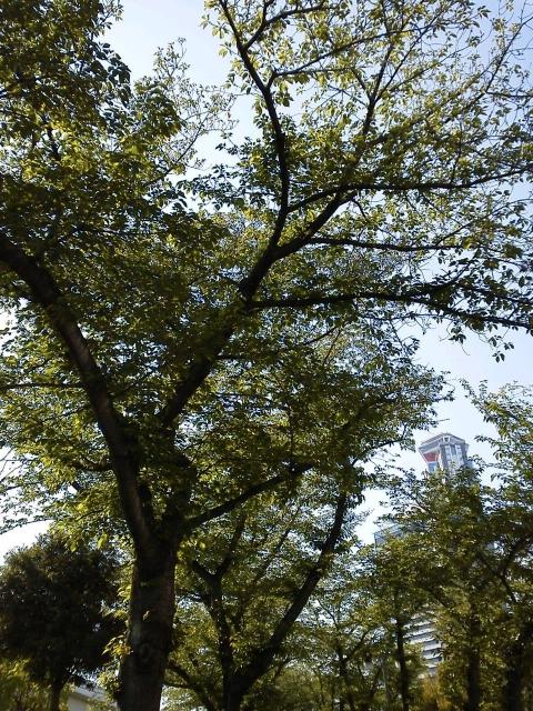 桜の木 緑