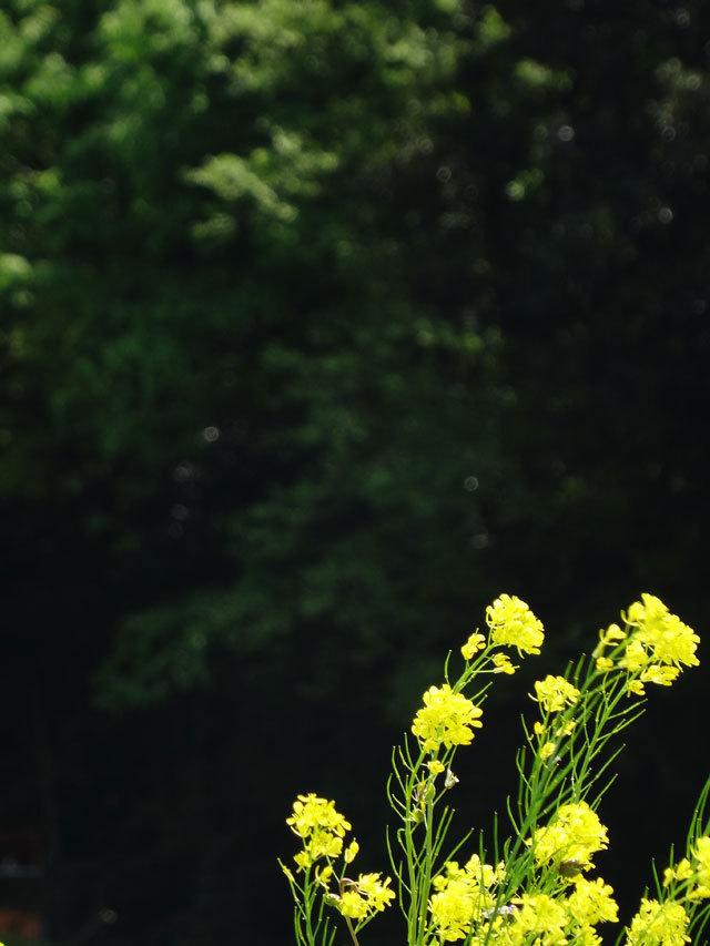 風と菜の花