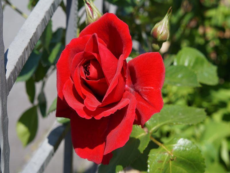 赤い大輪の薔薇