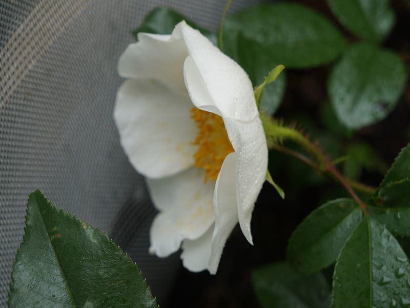 白い蔓バラ