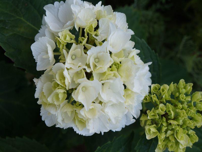 真っ白な紫陽花