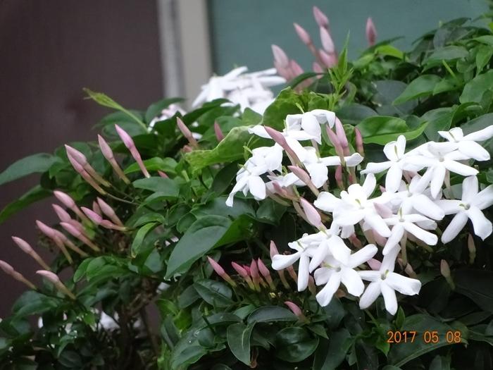 DSC08809ジャスミンの花