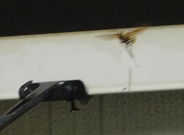 DSC08980戻ってきた蜂1