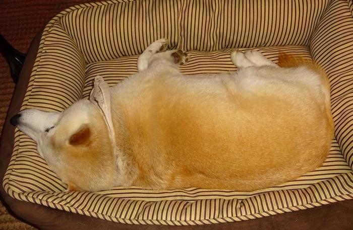 DSC09104食パンみたいな犬