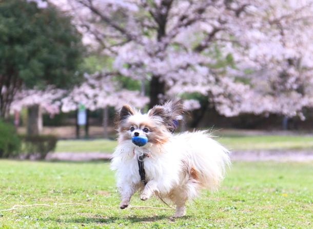 ふるさと公園のソメイヨシノ00011413