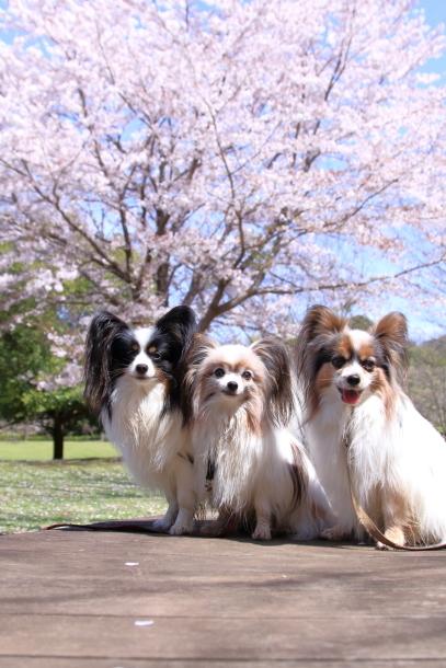 ふるさと公園のソメイヨシノ00011510