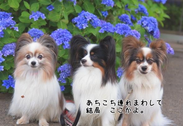 東高根森林公園 紫陽花100020865