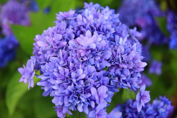 東高根森林公園 紫陽花100020870