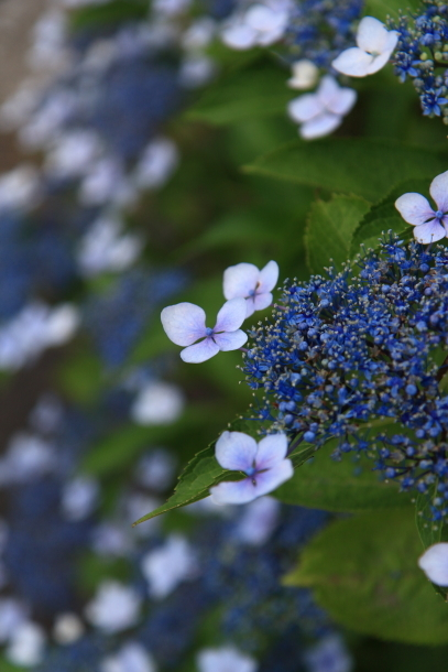 東高根森林公園 紫陽花100020898