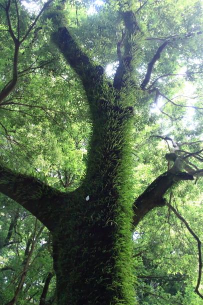東高根森林公園 紫陽花100020811