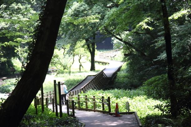 東高根森林公園 紫陽花100020816