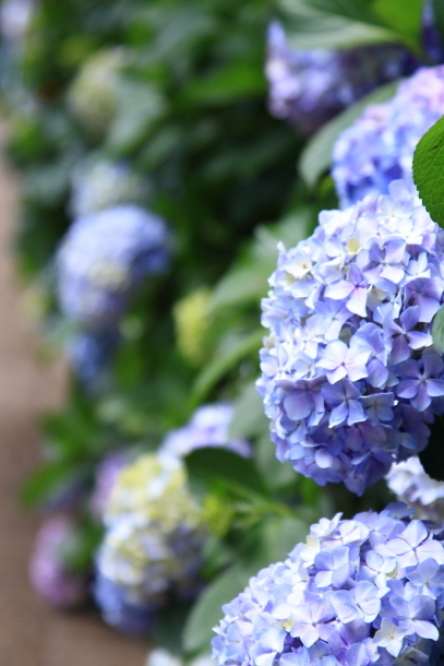 東高根森林公園 紫陽花100020799
