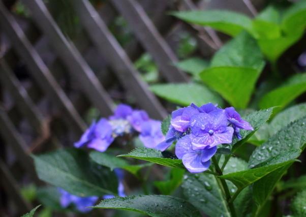 庭の紫陽花 雨00021093