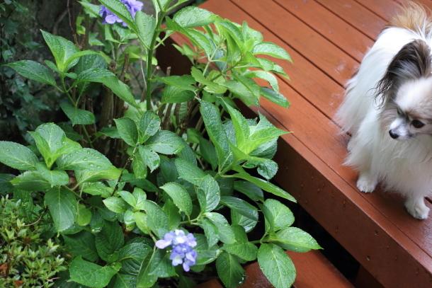 庭の紫陽花 雨00021098