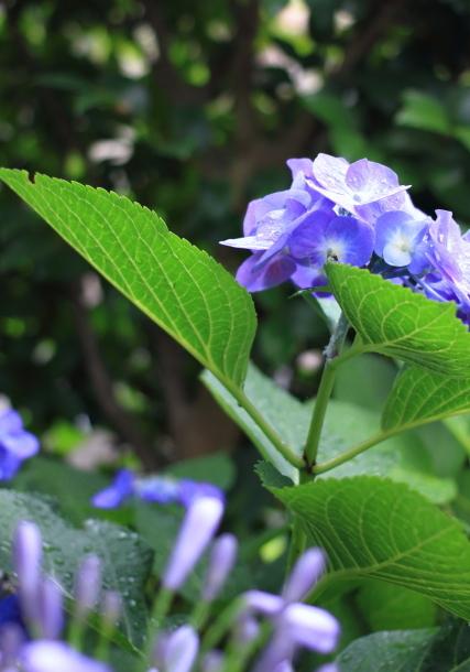 庭の紫陽花 雨00021104