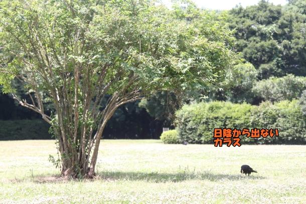 東高根森林公園 紫陽花100020827