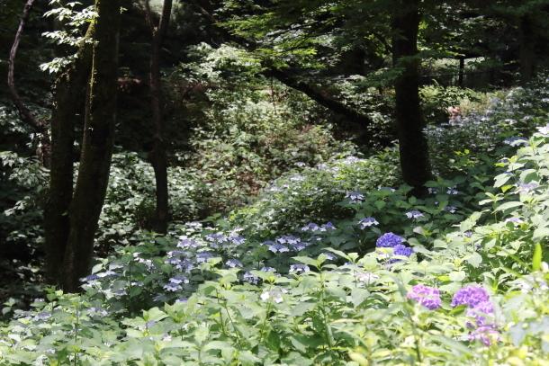 東高根森林公園 紫陽花100020833