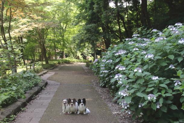 東高根森林公園 紫陽花100020839
