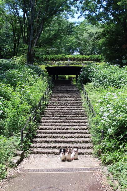 東高根森林公園 紫陽花100020837
