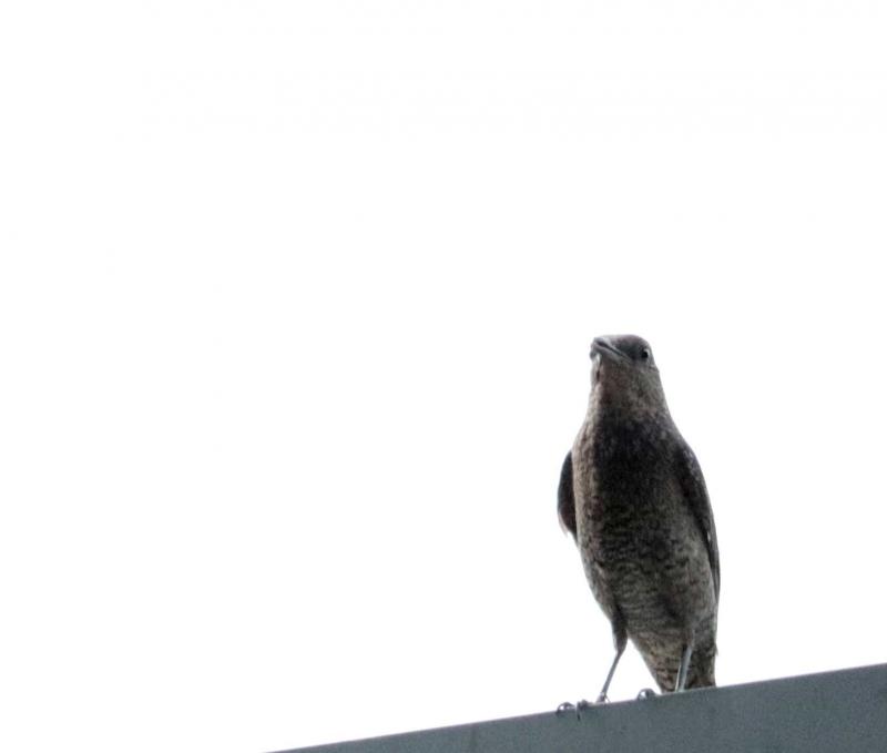 イソヒヨドリ雌2