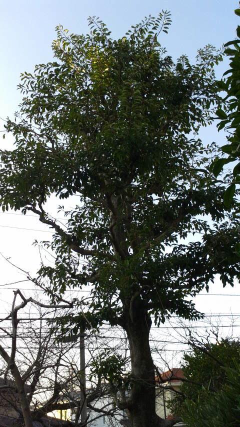 高木剪定 伐採