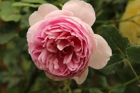 薔薇 半八重1