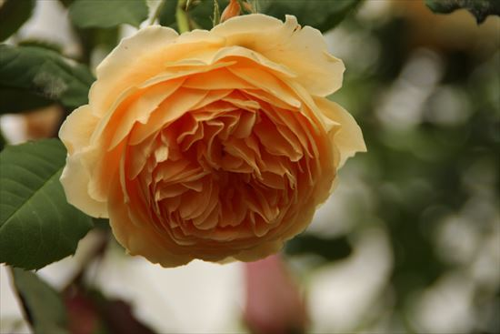 薔薇 半八重