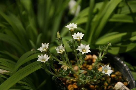 白花コケリンドウ1
