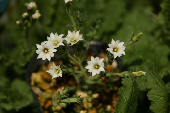白花コケリンドウ