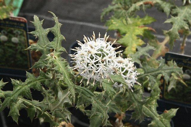 瑠璃玉アザミ 白花1