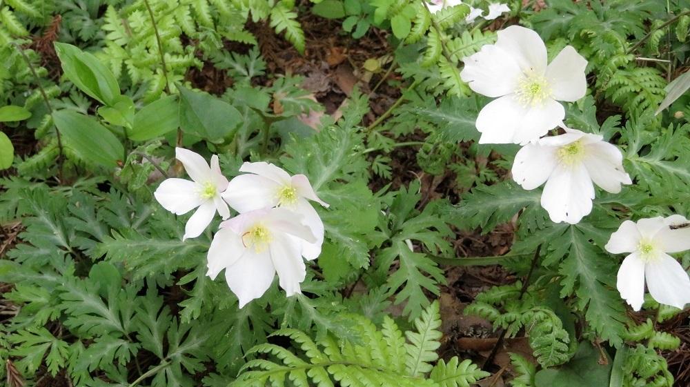 0424榛名の花IMG_1372