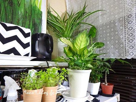2017 6-25 観葉植物 Cafeカーテン 1