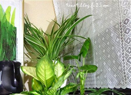 2017 6-25 観葉植物 Cafeカーテン 2