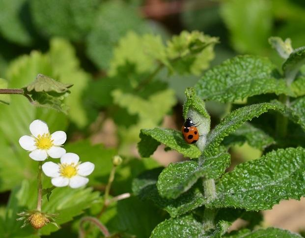 てんとう虫と苺