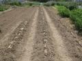 H29.4.28サツマイモに藁敷き@IMG_1046