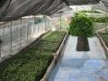 H29.5.21種蒔き・育苗ハウスの様子@IMG_1242