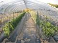 H29.5.28大・中玉トマトの整枝&ミニトマトに柵@IMG_1313