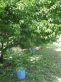 H29.6.2梅の実収穫中@IMG_1418
