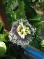 H29.6.3パッションフルーツの花@IMG_1423