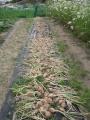 H29.6.17晩生タマネギ収穫@IMG_1501