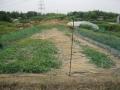 H29.6.29スイカ・ウリに害鳥避けネット張り(110m)@IMG_0078