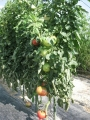H29.7.7大玉トマトの様子@IMG_0129