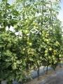 H29.7.7中玉トマトの様子@IMG_0128