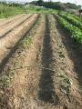 H29.7.7サツマイモ挿し芽増殖(30.30.60P)@IMG_0134